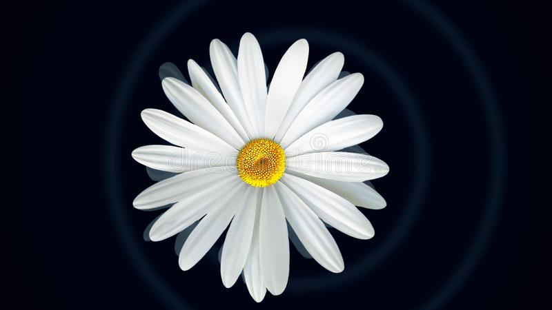 Chamomile on black background. Animation of abstract chamomile flower floating on isolated black background. Floral. Animation of clear and realistic graphics stock photo