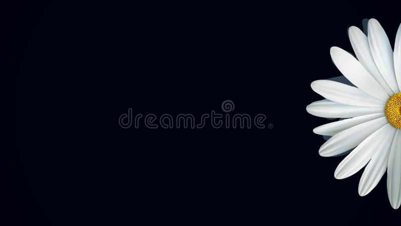 Chamomile on black background. Animation of abstract chamomile flower floating on isolated black background. Floral. Animation of clear and realistic graphics royalty free stock images