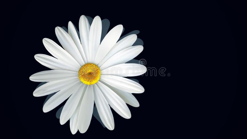 Chamomile on black background. Animation of abstract chamomile flower floating on isolated black background. Floral. Animation of clear and realistic graphics stock photos