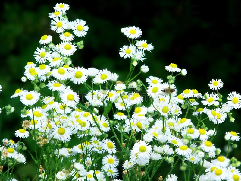 Chamomile the flower of the Sun God II stock photos