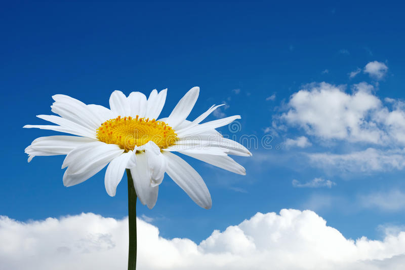 Chamomile and blue sky royalty free stock photography