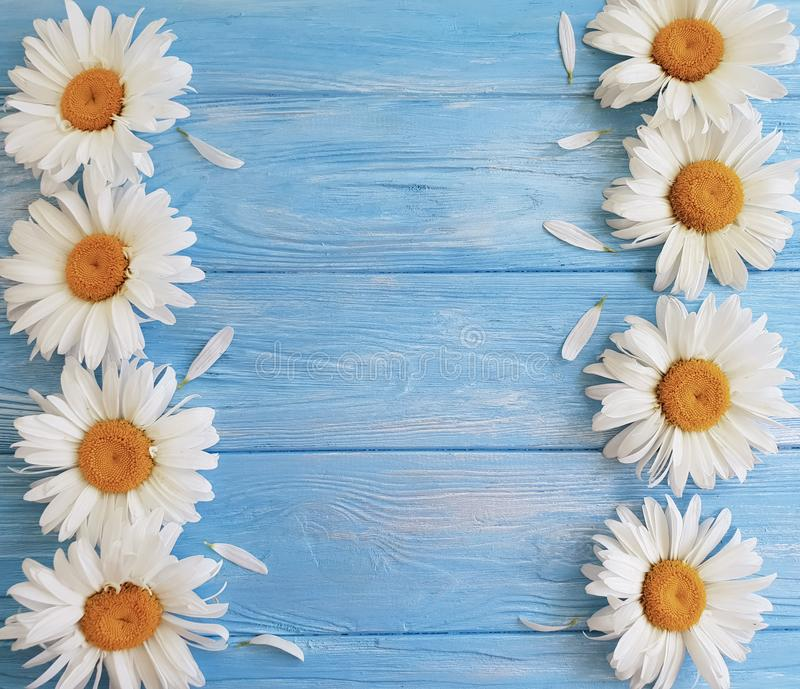 Chamomile freshness rustic vintage on blue wooden background pattern greeting royalty free stock image