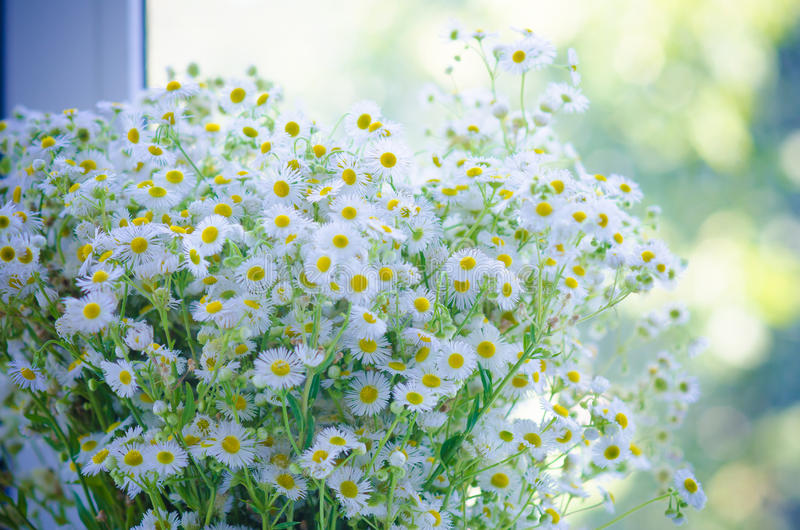 Chamomile bouquet royalty free stock photo