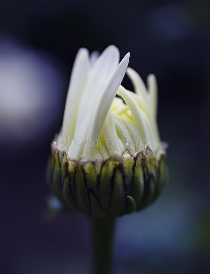 Chamomile bud with petals stock image