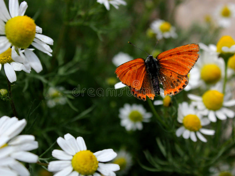 Chamomile and butterfly stock photography