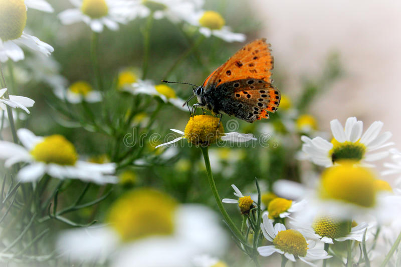 Chamomile and butterfly royalty free stock photography