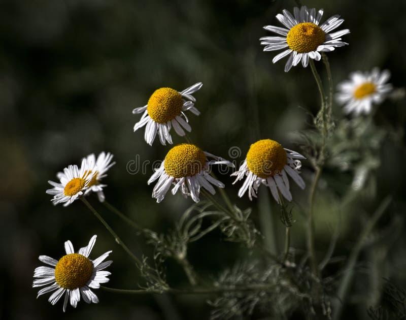 Chamomile camomile. Medicinal plants. Macro shooting. Nature royalty free stock image