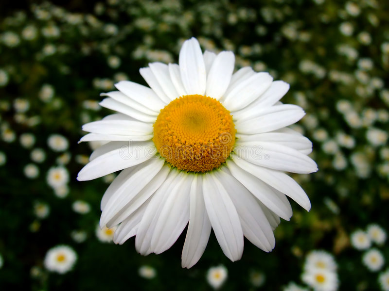 Chamomile color royalty free stock photo