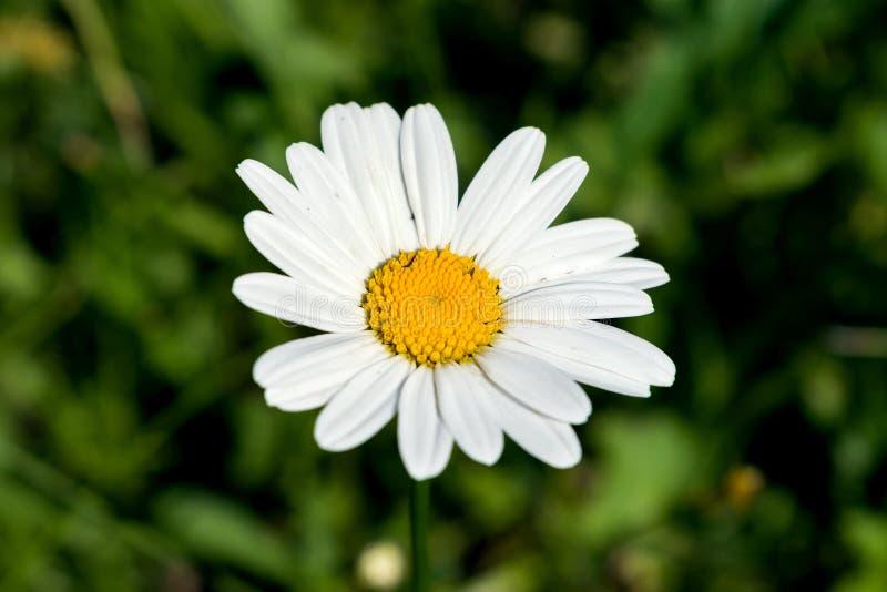 Chamomile, Chamomile cutie, kwiat, piękna stokrotka, piękny kwiat fotografia stock