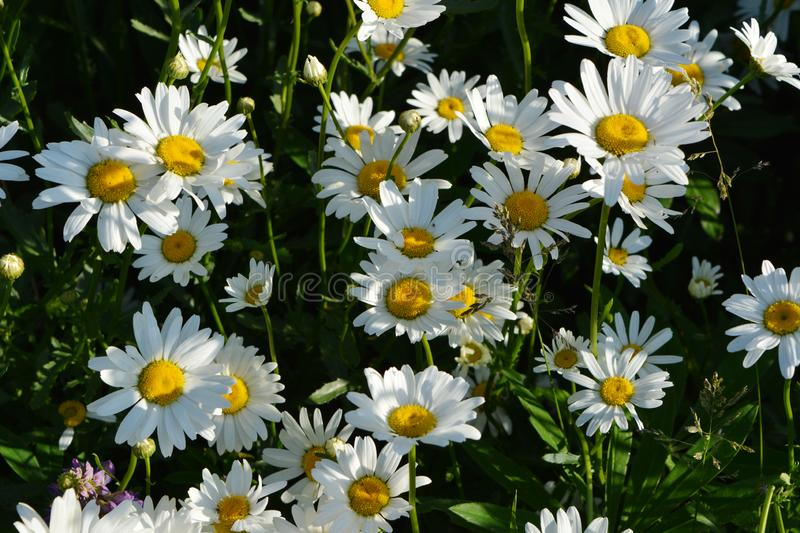 Chamomile or daisy flowering meadow in sunny summer day. Beautiful flowers with white petals and yellow cores royalty free stock photos
