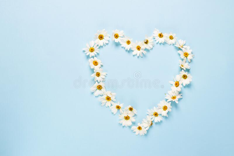 Chamomile or daisy flowers laid out in the shape of heart on a blue background. Health holiday concept. Chamomile or daisy flowers laid out in the shape of a royalty free stock image