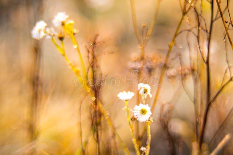 Chamomile dzicy kwiaty w spadku suszą łąkę zdjęcia stock