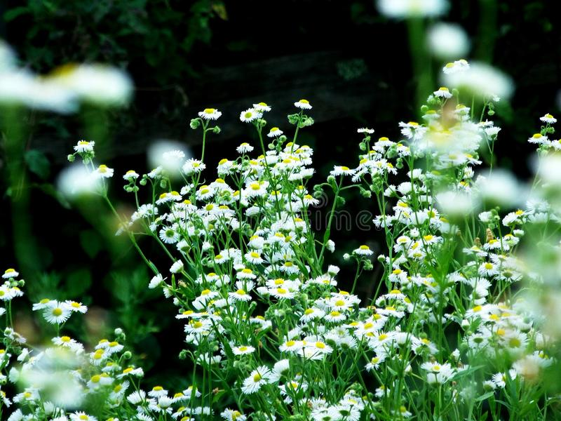Chamomile the flower of the Sun God stock photo