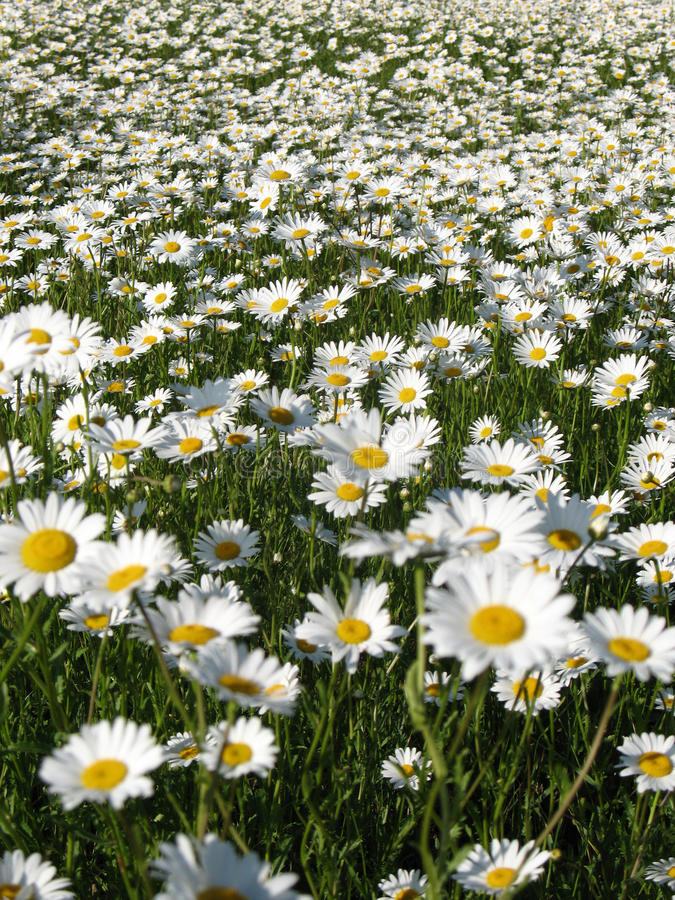 Download Chamomile Field Stock Photography - Image: 17338402