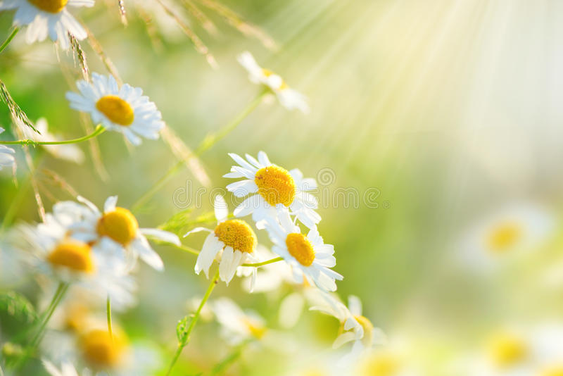 Chamomile field flowers border stock photo