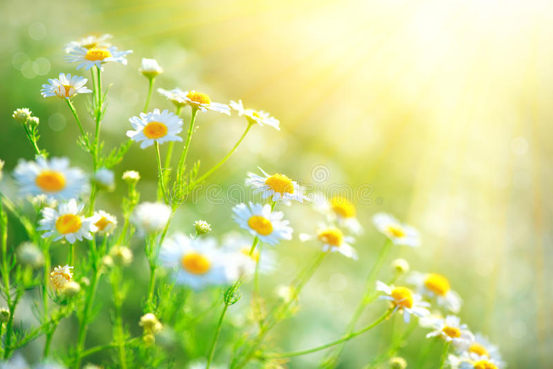 Chamomile field flowers border. Beautiful nature scene royalty free stock photography