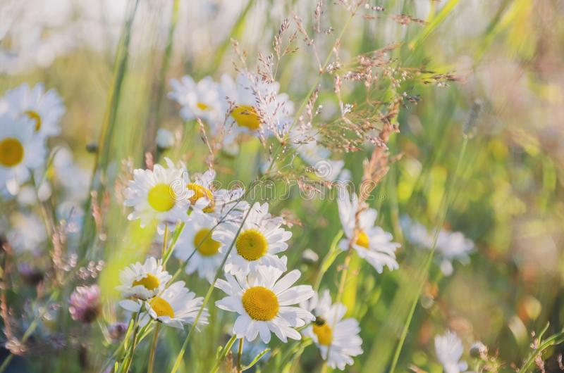 Chamomile field flowers border. Beautiful nature scene with blooming medical chamomilles in sun flare. Alternative. Medicine Spring Daisy. Summer flowers stock image