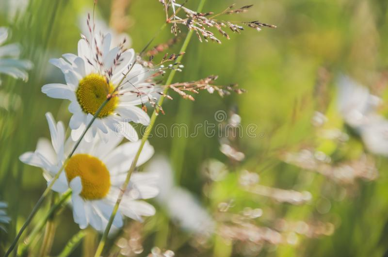 Chamomile field flowers border. Beautiful nature scene with blooming medical chamomilles in sun flare. Alternative. Medicine Spring Daisy. Summer flowers stock images