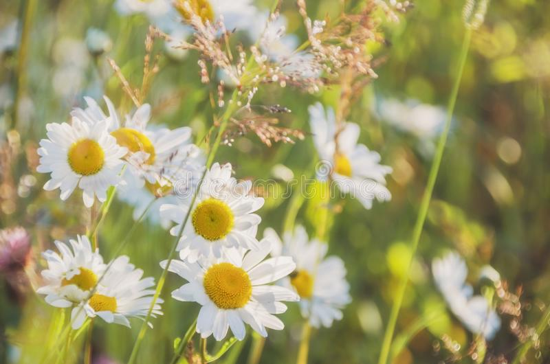 Chamomile field flowers border. Beautiful nature scene with blooming medical chamomilles in sun flare. Alternative. Medicine Spring Daisy. Summer flowers royalty free stock image