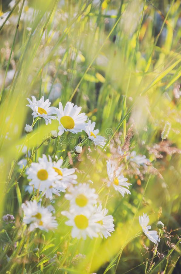 Chamomile field flowers border. Beautiful nature scene with blooming medical chamomilles in sun flare. Alternative. Medicine Spring Daisy. Summer flowers royalty free stock images