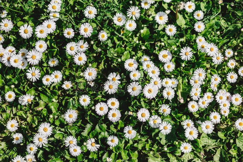 Chamomile field flowers or daisies flowers blooming in sunlight background. Summer flowers, top view, pattern stock photography