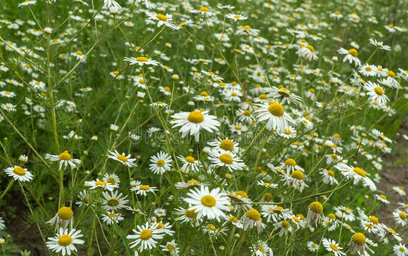 Chamomile field on a summer day. selective focus. stock image