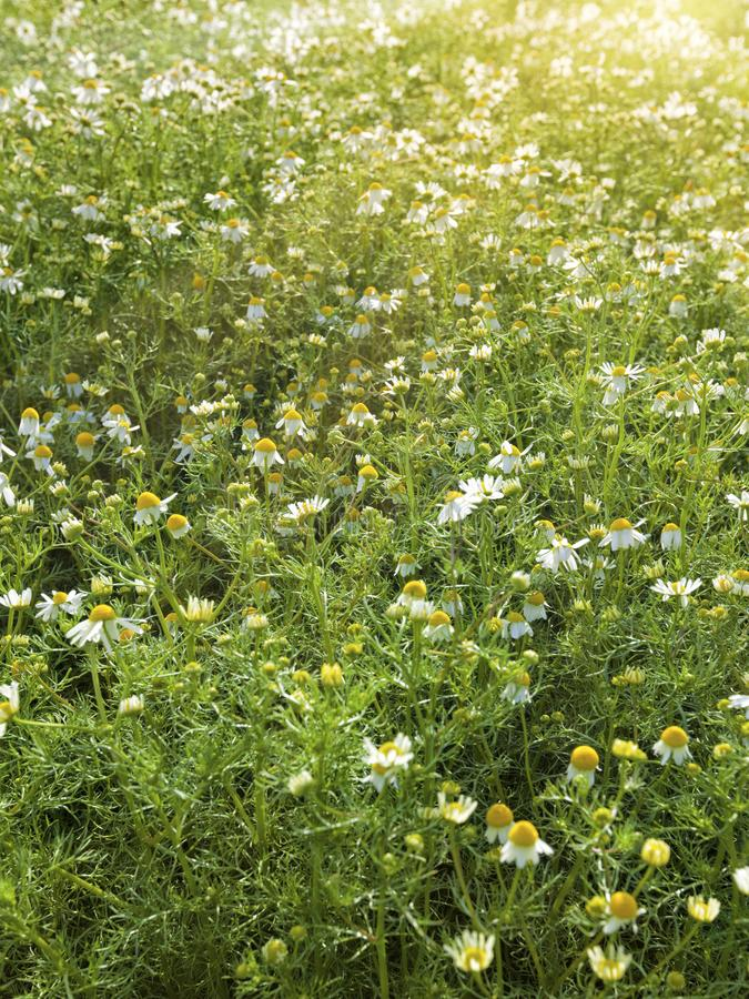 Chamomile field in sunlight stock photography