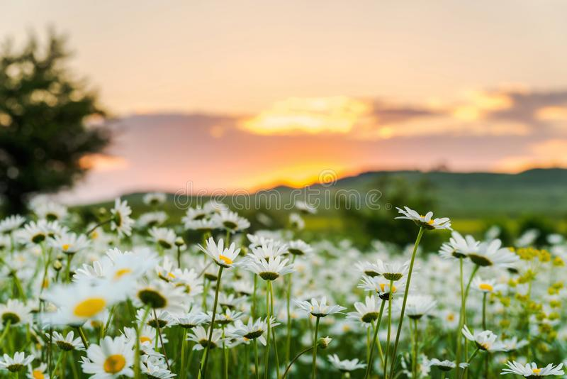Chamomile field at sunset. Blooming white wild daisies at sunset, plant, nature, green, beautiful, summer, background, field, natural, floral, daisy, spring stock images