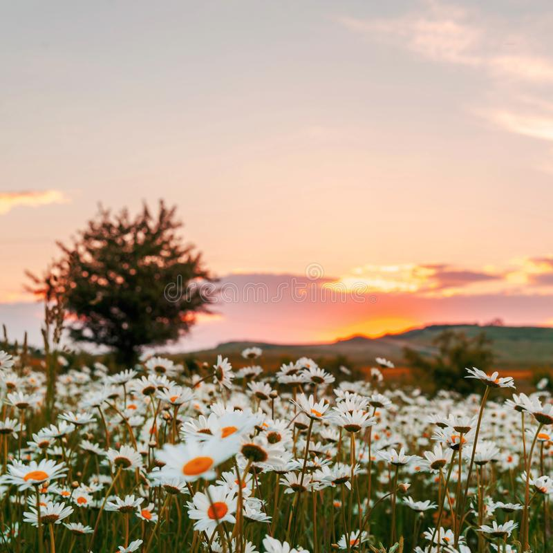 Chamomile field at sunset. Field of wild daisies at sunset, plant, nature, green, beautiful, summer, background, natural, floral, daisy, spring, outdoor, flower stock image