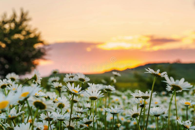 Chamomile field at sunset. Field of wild daisies at sunset, plant, nature, green, beautiful, summer, background, natural, floral, daisy, spring, outdoor, flower royalty free stock photos