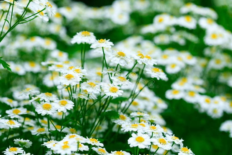 Chamomile flower background. Fresh flowers of chamomiles in garden. royalty free stock photos