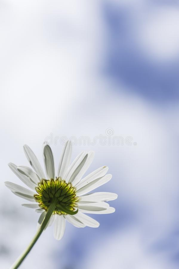 Chamomile flower and  blurred blue sky with clouds in background stock photo