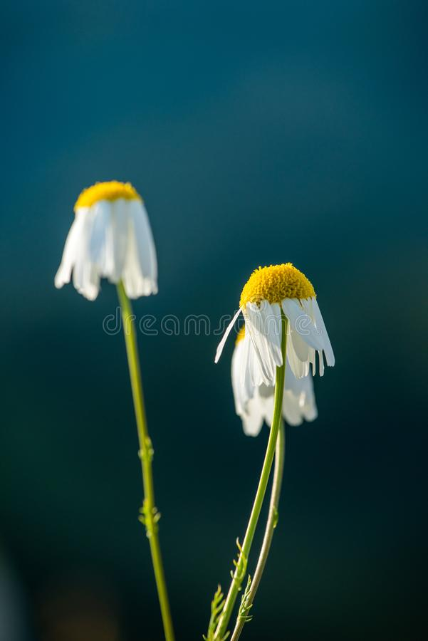 Chamomile flower close up in nature, summer time, medicinal flower.  stock image
