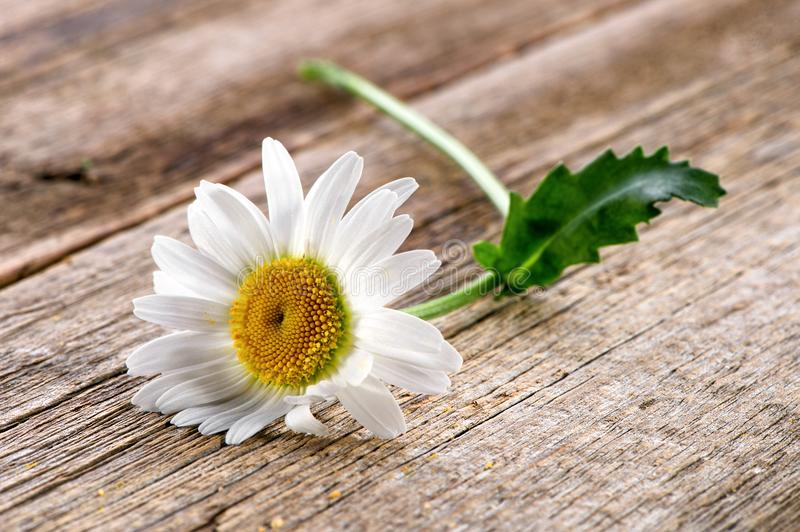 Chamomile flower close-up on rustic wooden background royalty free stock photos