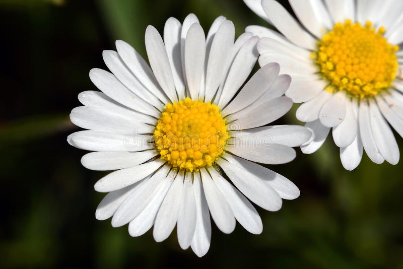 Chamomile flower , Daisy stock images
