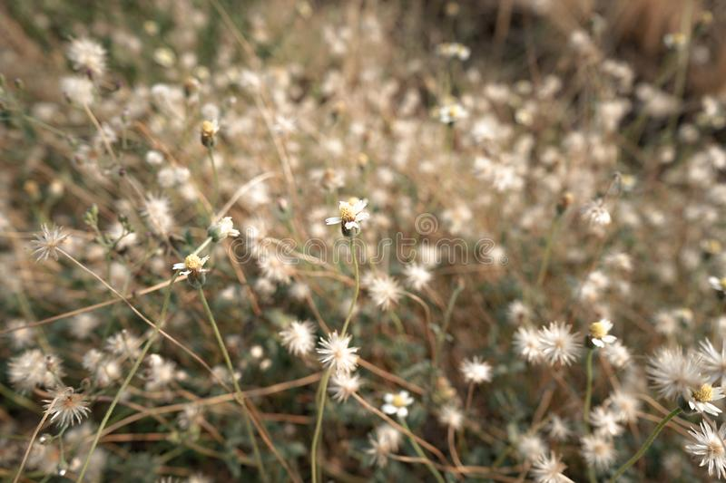 Chamomile flower field under warm sunlight. Heartwarming background. royalty free stock images