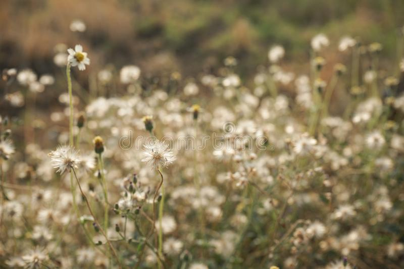 Chamomile flower field under warm sunlight. Heartwarming background. Copy space. Chamomile flower field under warm sunlight. Heartwarming background royalty free stock photography