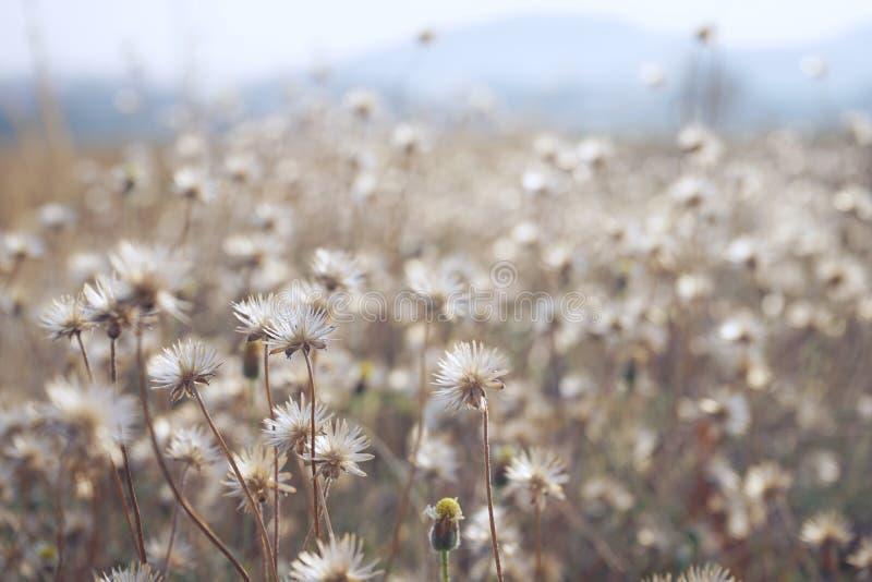 Chamomile flower field under warm sunlight. Heartwarming background. Copy space royalty free stock photo