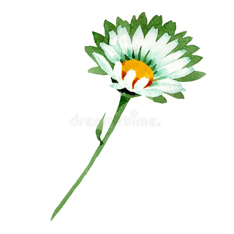 Chamomile flower. Floral botanical flower. Wild spring leaf wildflower isolated. Watercolor background illustration set. Chamomile flower. Floral botanical vector illustration