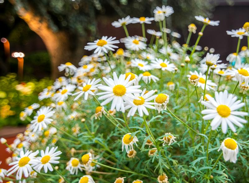 Chamomile flower at the Flower dome in Garden By The Bay. Chamomile flower at Flower Dome in Garden By The Bay, Singapore royalty free stock photography