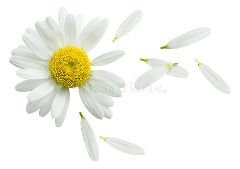 Chamomile flower flying petals isolated on white background. Chamomile flower flying petals, guess on daisy, isolated on white background as poster design stock photos