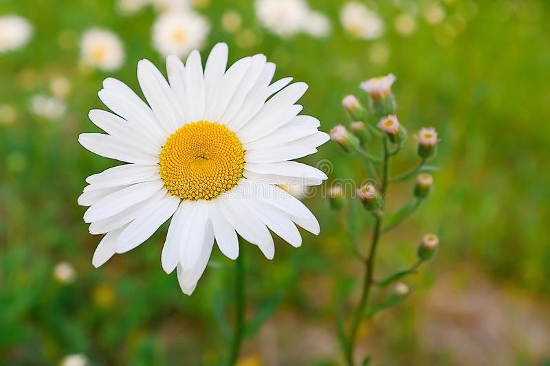 Chamomile flower on a green meadow or field in sunlight. Blurred focus royalty free stock images
