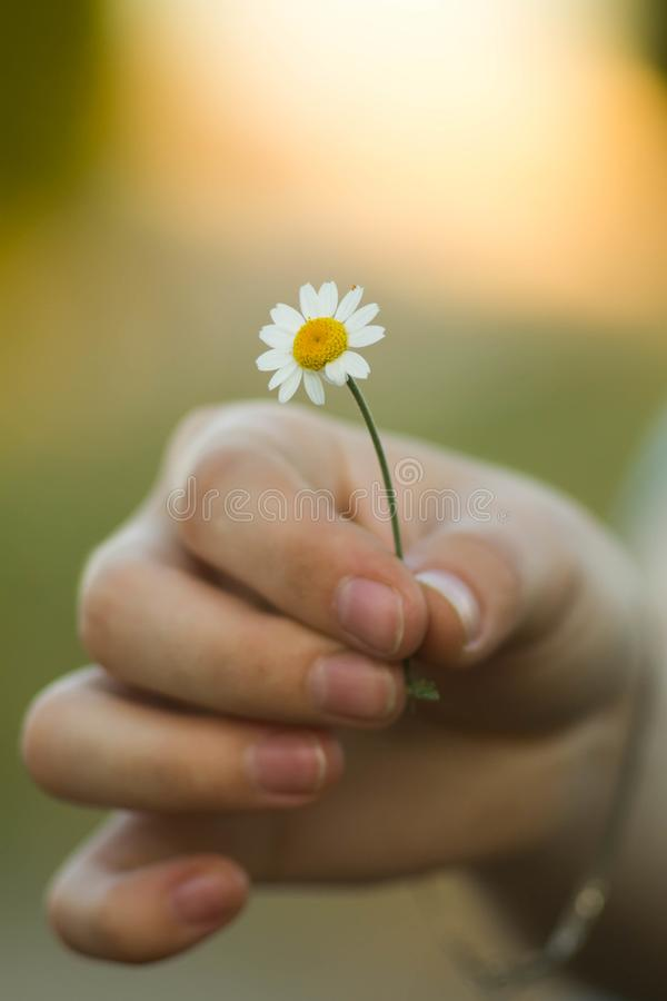 Chamomile flower in hand, nature, environment. Summer, love, new life, skin care, spa. A woman holding a flower stock image