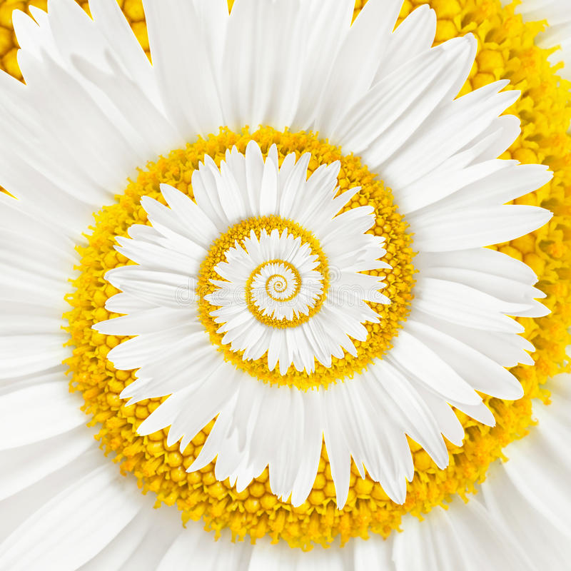 Chamomile flower infinity spiral stock photography