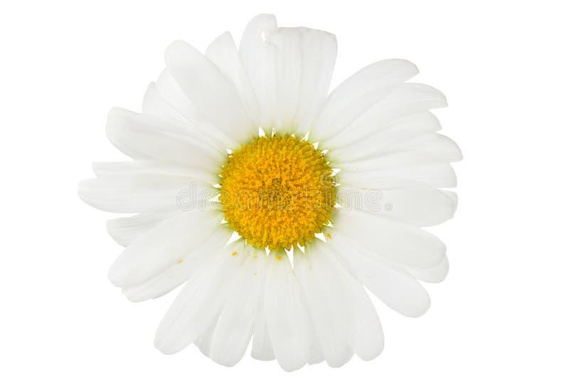 Chamomile flower isolated on white royalty free stock image