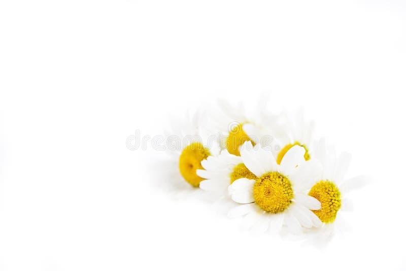 Chamomile flower isolated on white background stock images