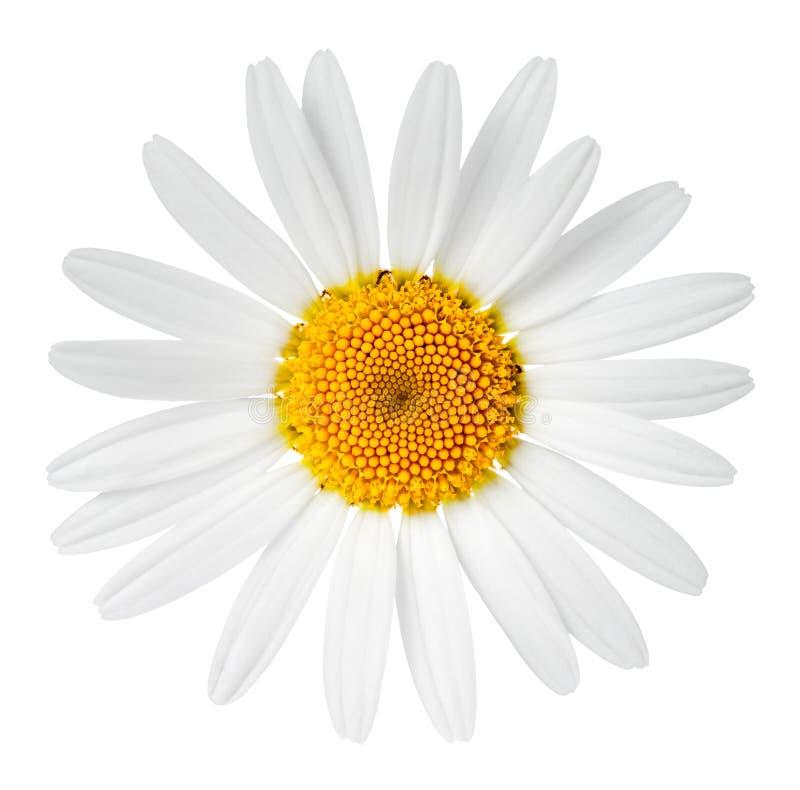 Chamomile Flower royalty free stock image