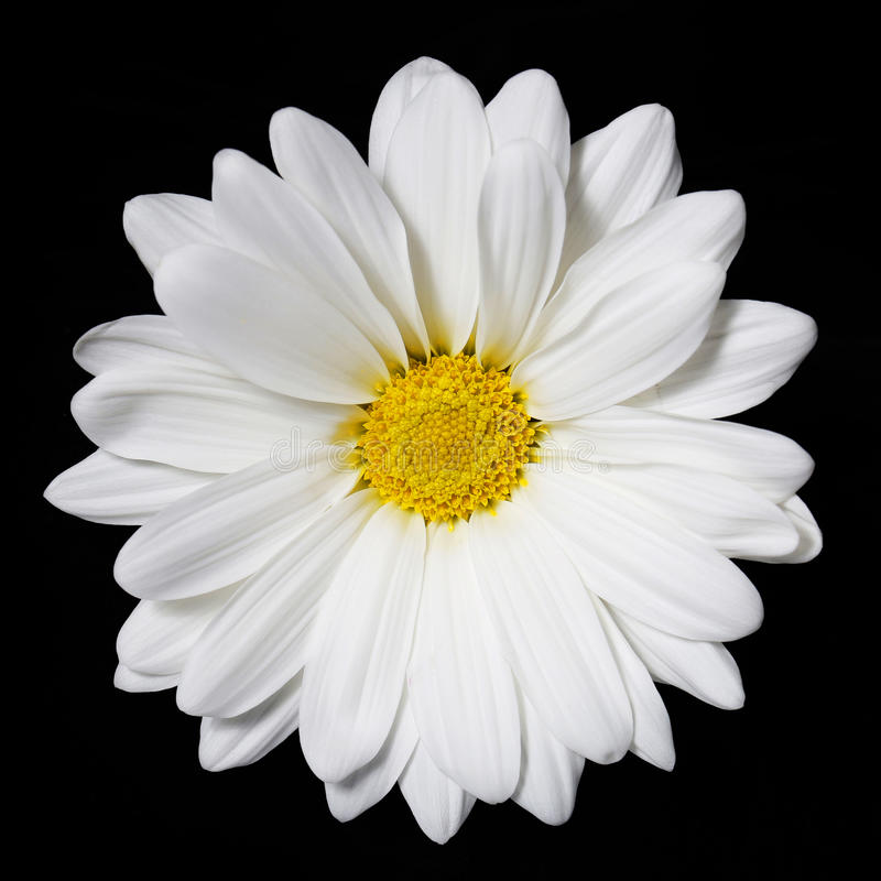 Chamomile flower over black. Daisy. royalty free stock photography