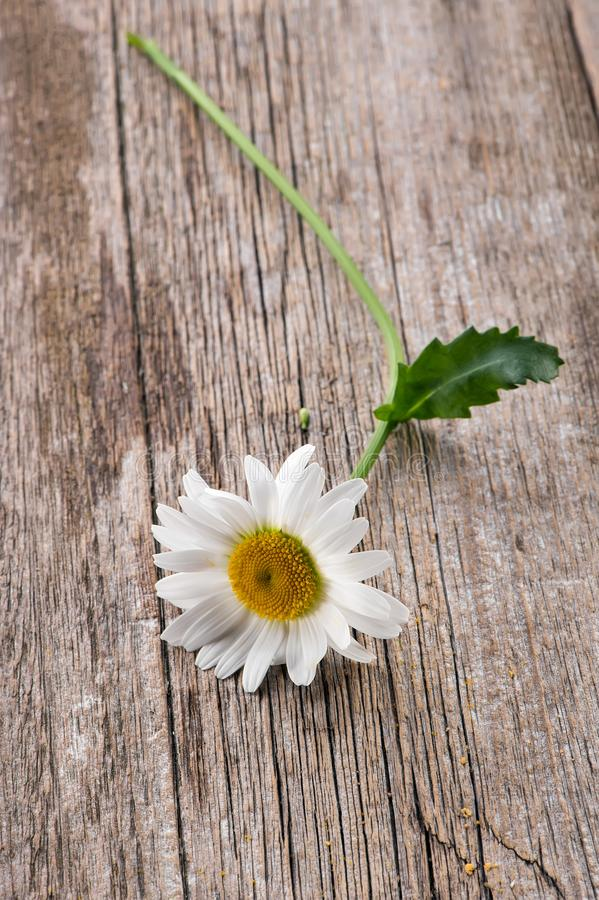 Chamomile flower on rustic wooden background royalty free stock image