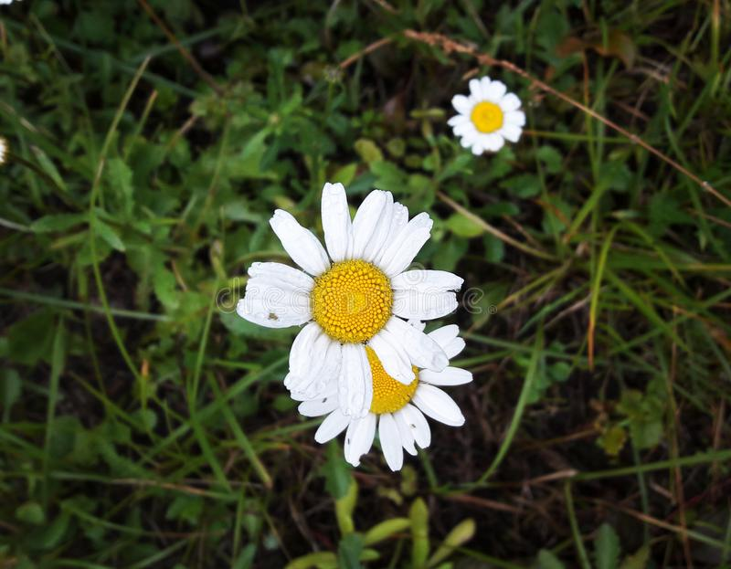 Chamomile royalty free stock images